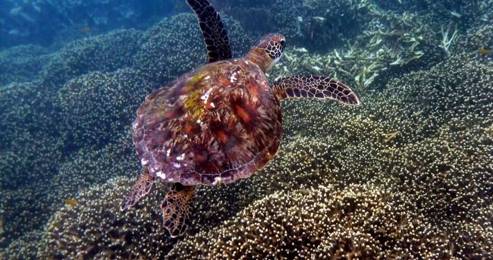 Green Turtle - Tortue verte (Chelonia mydas)
