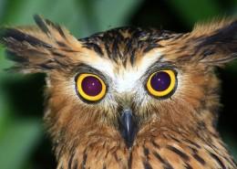 Buffy Fish-Owl (Ketupa ketupu)  Classification : Famille des Strigidae Français : Kétoupa Malais Taille : 50 cm  Distribution : Péninsule malaise, Archipel de Riau, Sumatra, Java, Bali, Bornéo et Bangka. Statut IUCN : Préoccupation Mineure Photo : © Rimba