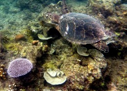 Hawksbill Turtle - Tortue imbriquee (Eretmochelys imbricata - female) 1