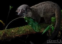 Small-toothed Palm Civet (Arctogalidia trivirgata ssp. trivirgata)   Classification : Famille des Viverridae Français : Civette palmiste à trois bandes Taille : 44-60 cm (tête-corps) / Poids : 2-2,5 kg Distribution : Indonésie (Kalimantan, Sumatra), Malaise (péninsule & Bornéo), Péninsule Thaïlande. Statut IUCN : Préoccupation Mineure Photo : © Ch'Ien C. Lee