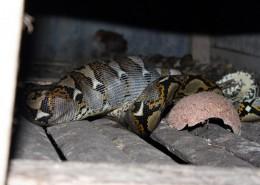 (12) Python dans le poulailler